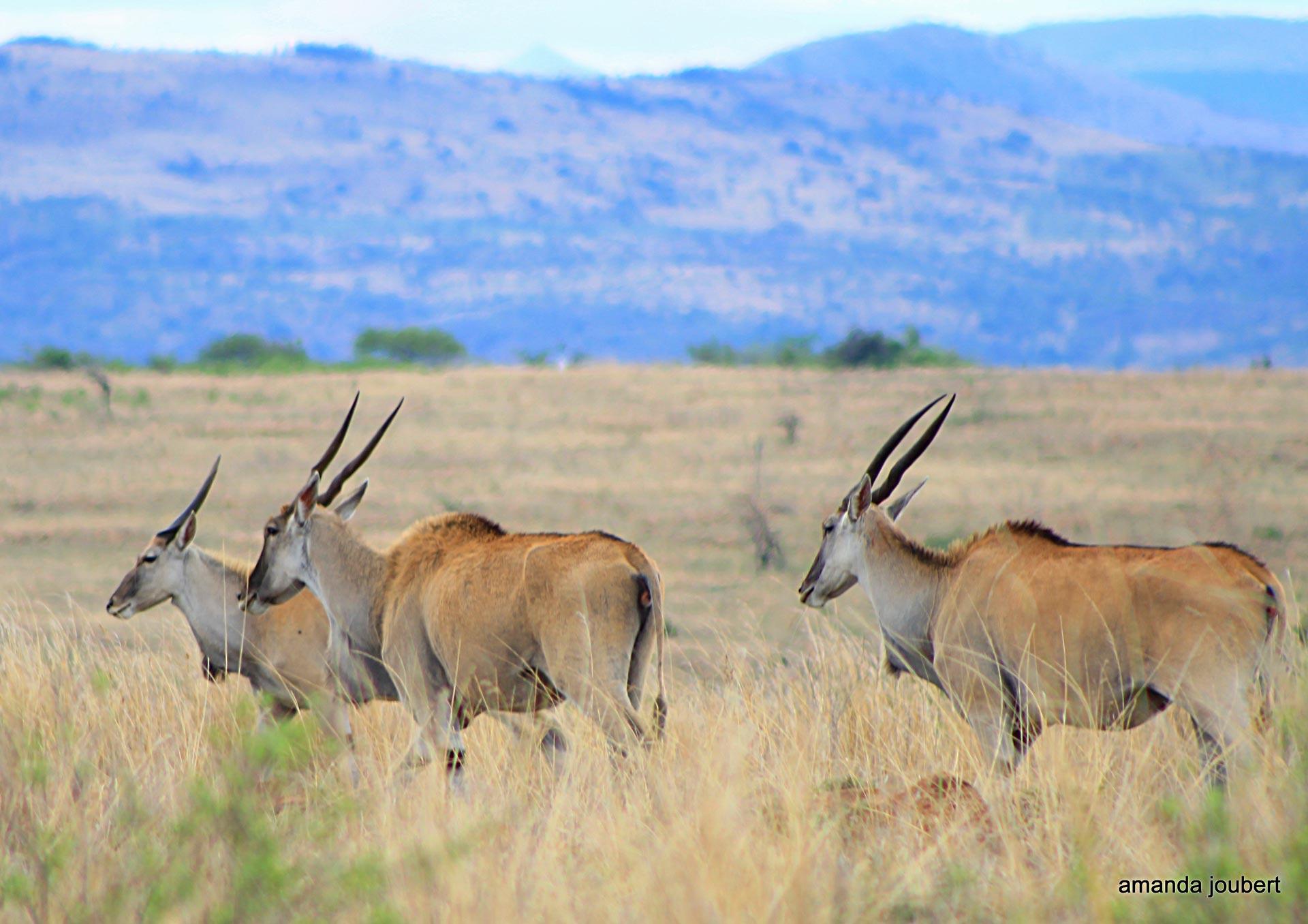 Eland Nambiti Private Game Reserve