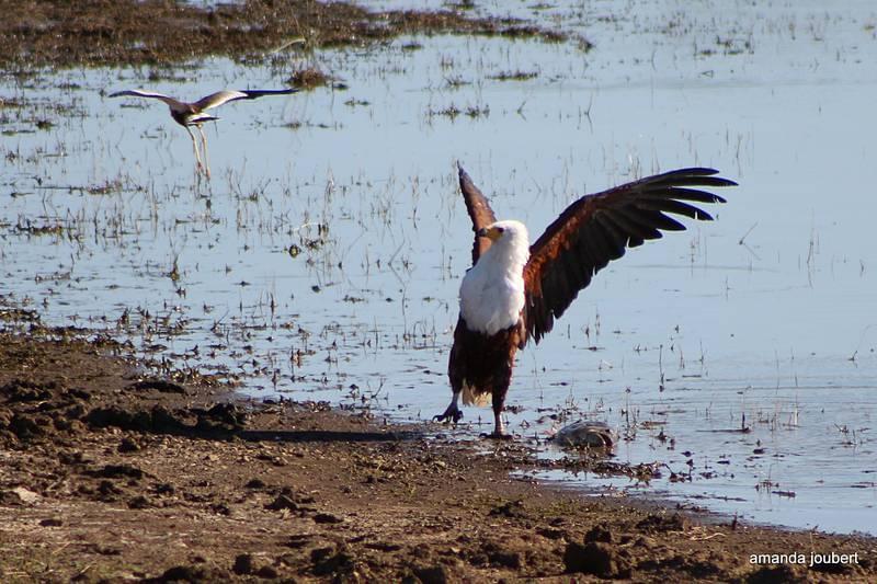 Fish Eagle 10