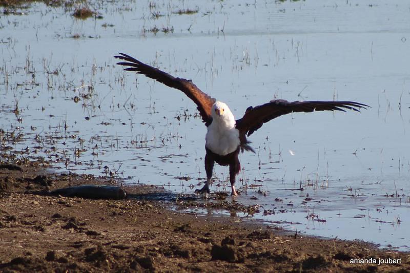 Fish Eagle 3
