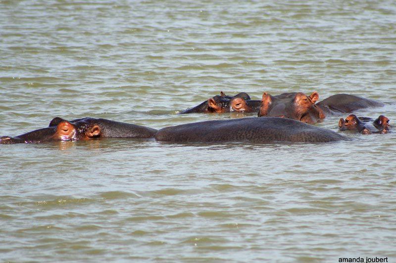 Hippopotamus at Nambiti big 5 Private Game Reserve