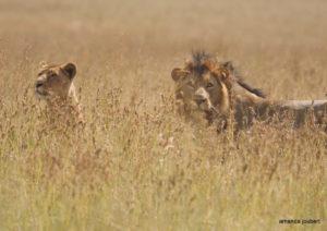 lions at nambiti big 5 game reserve