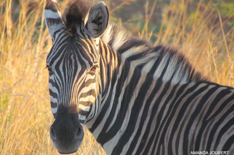 zebra nambiti