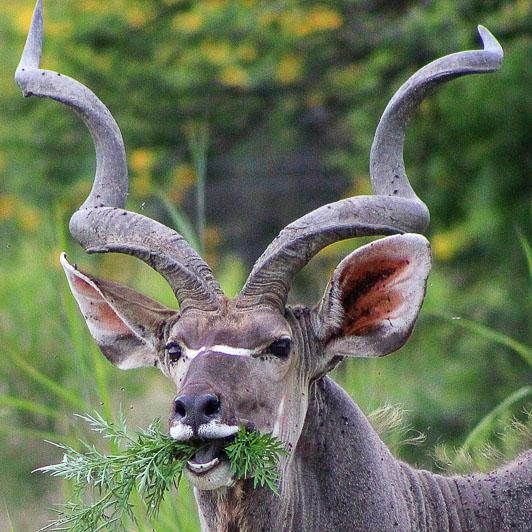 Ghost kudu