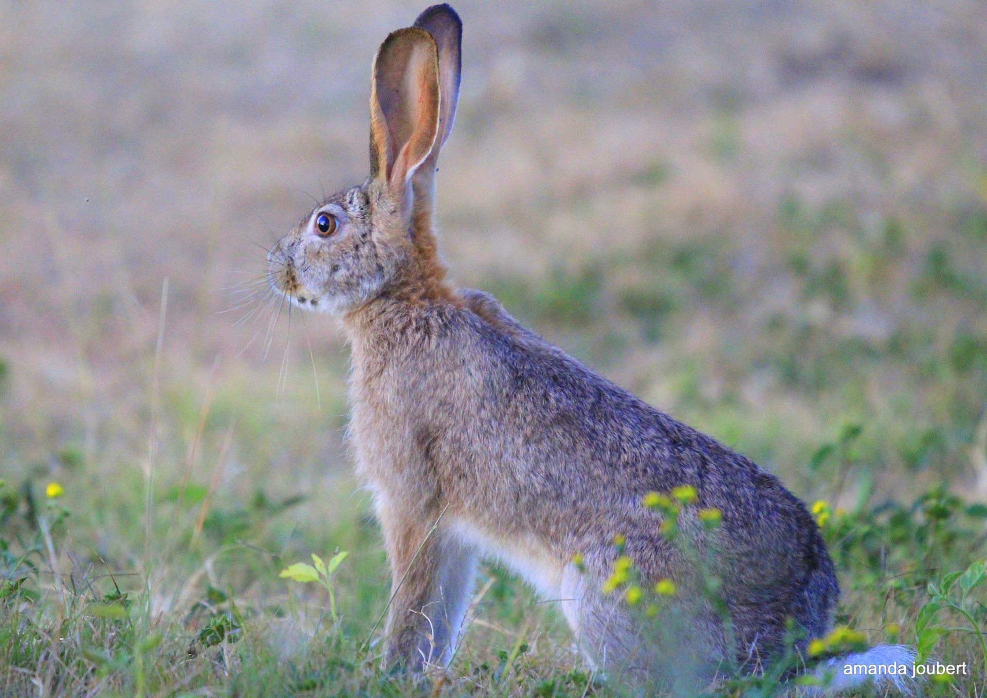 Bunny or Hare