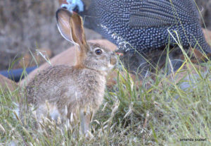 bunny and guineafowl
