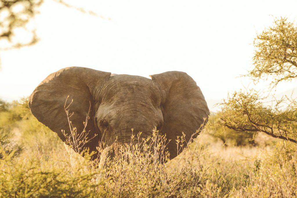 game ranger elephant sighting