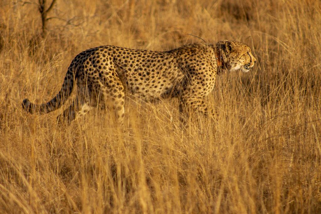 Cheetah at Nambiti